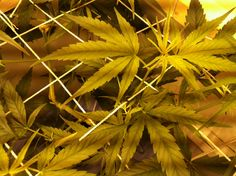 ... forward week 9 nature s candy 2 thc gimp how to grow weed thc digest