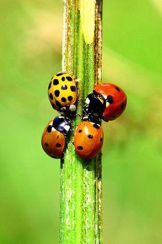 ladybug bites poisonous