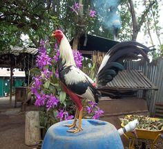 Gallo de Pelea Giro Real de Puerto Rico