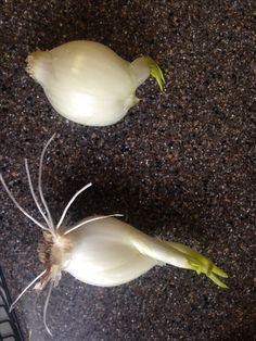 Onion Sprouts, Garlic, Vegetables, Food, Essen, Vegetable Recipes, Meals, Yemek, Veggies