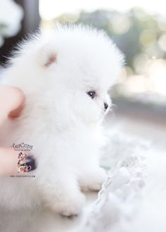 Tiny Teacup Pomeranian puppies available in our store.Your Micro Teacup Pomeranian puppy is conveniently small and cute. Find your tiny Pomeranian ur boutique. Micro Teacup Pomeranian, White Pomeranian Puppies, Teacup Puppies For Sale, Baby Puppies, Cute Puppies, Cute Dogs, Yorkie Dogs, Teacup Chihuahua, Bleu Merle