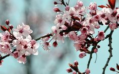 Nature Fleurs prunus et pluie