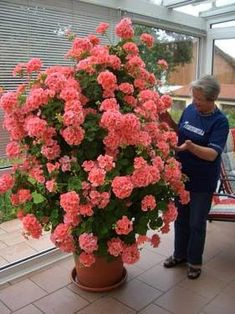 100 pcs/bag bonsai climbing geranium seed, rare potted flower seeds, courtyard & balcony outdoor plant for home garden Not sure how they got this to grow so big in such a comparatively small pot. Flower Seeds, Flower Pots, Pot Jardin, Garden Pictures, Container Flowers, Plantation, Outdoor Plants, Garden Pots, Garden Shop