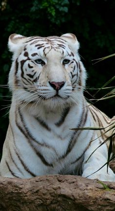 Big Cats - Majestic White Bengal Tiger - by Hans