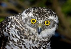Image from http://ibc.lynxeds.com/files/pictures/Powerful_Owl_juv_inquisitive.jpg.