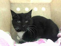 ***SAFE*** Pulled by Ready For Rescue- Paypal address: readyforrescue@gmail.com 11/30/14 Brooklyn Center  My name is MILLY. My Animal ID # is A1021460. I am a female black and white domestic sh mix. The shelter thinks I am about 13 WEEKS old.  I came in the shelter as a STRAY on 11/23/2014 from NY 11229, owner surrender reason stated was STRAY. I came in with Group/Litter #K14-202838.