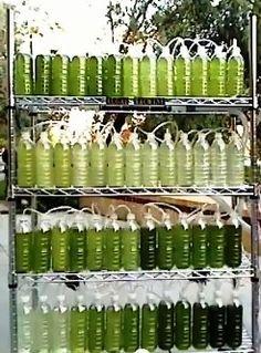 Growing Spirinula in bottles.