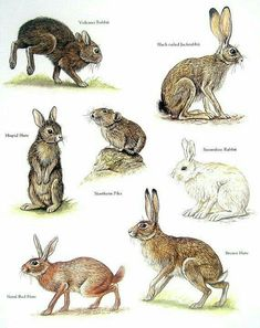 Items similar to Rabbits - Volcano Rabbit, Northern Pika, Brown Hare, Snowshoe Rabbit - Vintage Animal Book Plate Page on Etsy Animals Of The World, Animals And Pets, Cute Animals, Rabbit Art, Animal Books, Animal Facts, Tier Fotos, Fauna, Gravure