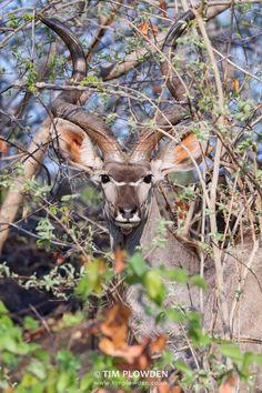 Greater Kudu, Zambia By Tim Plowden  #timplowdenphotography #kudu #wildlife #wildlifephotography #animals #travel #africa #antelope