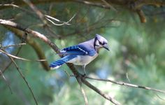 Blue Jay - West Chester, Ohio