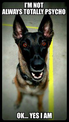 Discover The Doberman Pinscher Puppy Dog Jokes, Funny Dog Memes, Funny Pets, Belgian Shepherd, German Shepherd Dogs, German Shepherds, Shepherd Puppies, Animal Memes, Funny Animals