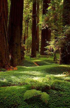 Forest floor, the Redwoods, California