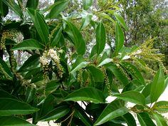 Fiddlewood Tree Hawaii