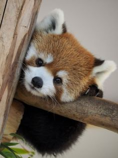Information about types of pandas that exist in the world. Not only that, you can find fun facts about giant pandas and red pandas too. Red Panda Cute, Panda Love, Photo Panda, Animals And Pets, Funny Animals, Wild Animals, Tier Fotos, Cute Little Animals, Cute Animal Pictures