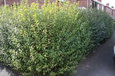 Now that the #bird nesting season is coming to an end we can think about hedge cutting. Most UK #hedges are V shaped. #gardening #wildlife #skills #horticulture