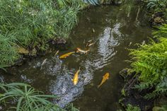 Koi in the Lednice-Valtice conservatory in the Czech Republic.