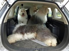car load of old english sheepdogs = FUN