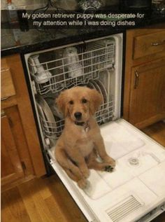Astonishing Everything You Ever Wanted to Know about Golden Retrievers Ideas. Glorious Everything You Ever Wanted to Know about Golden Retrievers Ideas. Cute Funny Animals, Funny Animal Pictures, Funny Dogs, Funny Memes, Funniest Memes, Dog Pictures, Cute Puppies, Cute Dogs, Dogs And Puppies