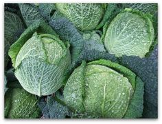 Savoy cabbage (or cavolo verza) - a crinkly, tender cabbage that you don't have to cook as much, seems more common in Europe, and has its own website (savoycabbage.org)