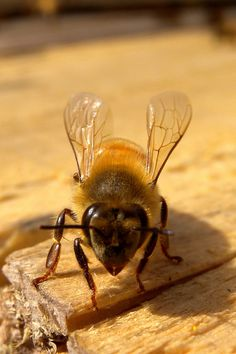 Bee and Wasp Removal in Orlando Florida is a common and dangerous issue that needs to be addressed quickly and by a professional. I Love Bees, Birds And The Bees, Hives And Honey, Honey Bees, Buzzy Bee, Bee Skep, Bees And Wasps, Beautiful Bugs, Bee Art