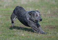 Stumpy Tail Australian Cattle Dog | AUSTRALIAN STUMPY-TAIL CATTLE DOG/STUMPY-TAIL ... | AUSTRALIAN STUMPY ...