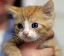 Oliver, above, and other kittens will be available for adoption at the San Luis Obispo County Animal Services shelter from 11 a.m. to 4 p.m. Saturday.