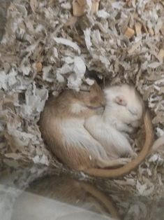 Gerbil Brothers Fast Asleep - very cute