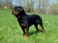 100 Best My Babys Images Doberman Pinscher Dog Breeds Doggies