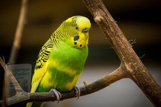 Parakeet Care, Photoshop, Budgies, Parrots, Love Images, Nature Wallpaper, Lightroom Presets, Animal Photography, Pet Birds