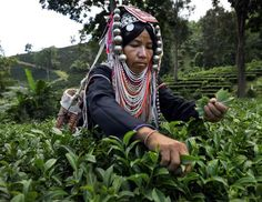 An Akha Hilltribe woman picks Oolong #17 tea leaves during a harvest at the Suwirun Tea farm in the hills outside of Chaing Rai Nov. 11, 2012 in Chiang Rai, Thailand. There are around 40 Akha hill tribe workers and 120 Burmese making 300 Bhat a day working on the family run Suwirun Organic tea farm. The Tea is harvested every 45 days, collecting about 1.5 tons on average per harvest. (Paula Bronstein/Getty Images)