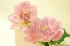 Daliah - Pink