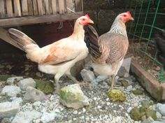 Sweater Brood Hens - Google Search
