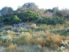Description of coastal sage scrub plants best for Los Angeles area, including the Palos Verdes Peninsula (laspilitas.com)