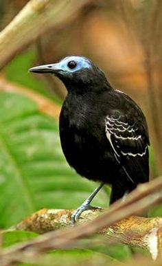 At El Paujil, as well as the fabulous Blue-billed Curassow, the striking Bare-crowned Antbird is regular (Pete Morris)