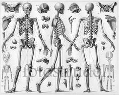 """Poster Size High Quality Black & White Reproduction of 1860 Skeletal Anatomy Print 23.5"""" x 19"""" on Etsy, $56.38 CAD"""