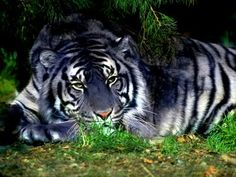 """Blue"" tiger is a photoshopped regular tiger. The legends of blue tigers may be based on xanthic or melanistic animals. Rare Animals, Animals And Pets, Wild Animals, Beautiful Cats, Animals Beautiful, Beautiful Creatures, Maltese Tiger, Chat Lion, Regard Animal"