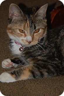 Philadelphia, PA - Domestic Shorthair. Meet Daisy, a cat for adoption. http://www.adoptapet.com/pet/9780709-philadelphia-pennsylvania-cat