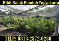 dijual Bibit Salak Pondoh Yogyakarta Madu Hasil Cangkok langsung dari Induknya. Pemesanan HUB : 081-328-720-280 (Bpk. Subambang) Aktif 24 jam nonstop.