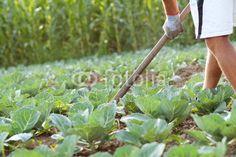 Grünkohlfeld jähten Felder, Agriculture, Sprouts, Vegetables, Photos, Napa Cabbage, Vegetable Recipes, Veggie Food, Brussels Sprouts