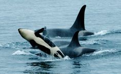 young orca breaching