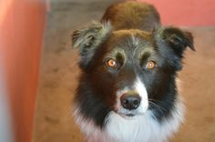 A lovely collie from MADRA Galway looking for his forever home . Collie, Rescue Dogs, Puppies, Photos, Animals, Cubs, Pictures, Animales, Animaux