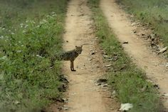 Wildlife and Wildlife Photography: Wildlife and Wildlife Photography - Jackal, Kabini...