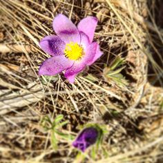 A crocus flower blooms adds some color to the landscape at The Ranch at Rock Creek luxury ranch in Philipsburg, Montana. | National Geographic Unique Lodges of the World