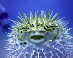 Blow Fish or Puffer?