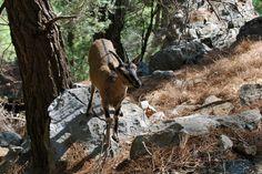 Kri-kri Crete, Moose Art, Traditional, Animals, Animales, Animaux, Animal, Animais