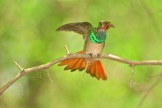 """The Buff-bellied Hummingbird is best seen in the U.S. in the Lower Rio Grande Valley of Texas...and they are feisty! This one was upset by another male coming to """"his"""" feeder. Photo by Sparky Stensaas www.ThePhotoNaturalist.com"""