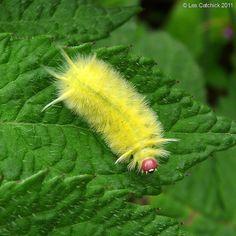 Lophocampa moth sp. (Caterpillar (Lophocampa moth sp.) por LPJC en Flickr)