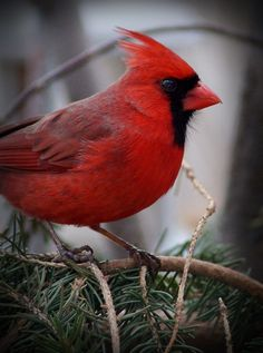 Northern Cardinal by cheryl smith, via 500px~cl