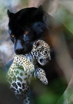 Black Female Panther Carrying Her Cub to a New Destination. Big Cats, Cool Cats, Cats And Kittens, Nature Animals, Animals And Pets, Wild Animals, Beautiful Cats, Animals Beautiful, Cute Baby Animals