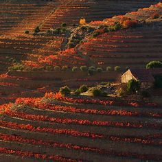 Autumn in the Douro Valley in Portugal. Amazing colours in this UNESCO World Heritage Site that also produces some of the finest wines in the world! Come visit the Gods and our wines at www.godsfromthevalley.com Gods From The Valley ®  #wine #landscape #vineyards #douro #portugal #countryside #terroir #grapes #redwines #vinho #wineregion #nature #ilovedouro #dinner #drinks #alcohol #cellar #winery #winemaking #wineoftheday #bestwines #topwines #bestredwines #farm #farming #instawine…